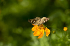 Sulphureus Sunny Yellow, type de cosmos de Klondyke Photos stock