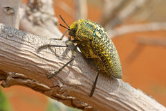 Sulphurous Jewel Beetle Stock Photo