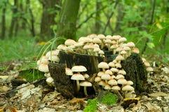 SulphurTuftsvamp (Hypholoma fasiculare) Royaltyfri Fotografi