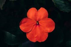 Sultan's凤仙花,繁忙的丽兹,深绿背景的患者露西 免版税图库摄影