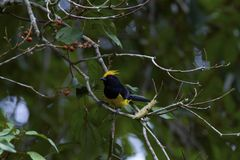 Sultan tit on tree. The sultan tit is a large songbird with a yellow crest, dark bill, black upperparts plumage and yellow underparts. The sexes are similar. The royalty free stock photo