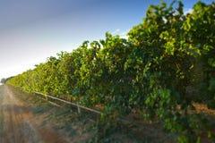 Sultana winogrona Zdjęcie Royalty Free