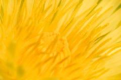 Sumário amarelo do dente-de-leão da flor Imagens de Stock Royalty Free