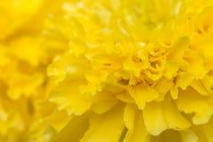 Sumário borrado da flor amarela, cravo-de-defunto americano Fotos de Stock