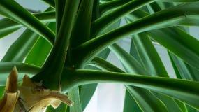 Sumário da árvore da mandioca Imagem de Stock Royalty Free