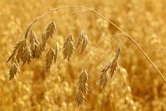 Sumário da colheita do cereal Fotografia de Stock Royalty Free