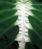 Sumário da folha da planta tropical Fotos de Stock