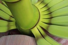 Sumário das bananas novas que crescem da flor imagem de stock royalty free