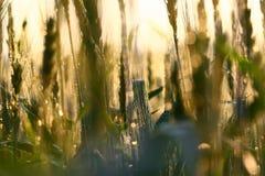 Sumário do campo de trigo Imagens de Stock