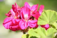 Sumário do close-up do gerânio da flor Fotos de Stock Royalty Free