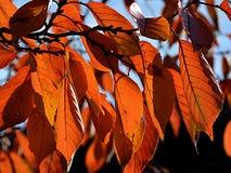 Sumário do ramo de uma árvore com as folhas coloridas da queda Foto de Stock