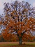 Sumário dourado do carvalho da árvore da folha de Autum Imagem de Stock