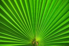 Sumário em folha de palmeira do verde do close up Imagem de Stock Royalty Free