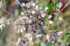 Sumário natural, hastes secas de uma planta de florescência em Hampstead Heath de Londres imagem de stock royalty free
