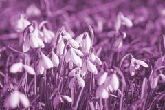 Sumário romântico b do snowdrop roxo violeta da flor branca da alfazema Fotos de Stock Royalty Free
