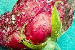 Sumário vermelho do gelo de Rose Frozen In Cracked Blue Imagens de Stock Royalty Free