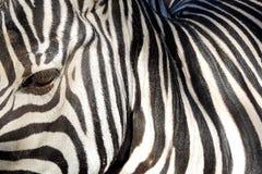 Sumários da zebra Fotos de Stock Royalty Free