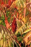 Sumac Royalty Free Stock Image