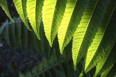 Sumac abstract. Sumac leaves abstract in Muskoka Stock Image