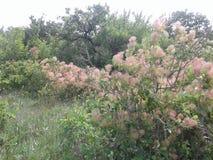Το Sumac είναι ένα ξύλινο είδος των οικογενειακών anacardiaceae Anacardiaceae στοκ εικόνα