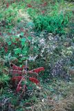 Sumac and Asters. Red sumac and purple new england asters growing against green vegatation. Pawtuckaway Park, Rockingham County, New Hampshire Royalty Free Stock Photo