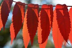 Sumac Brilliance. Draped sumac leaves on a branch Royalty Free Stock Photos