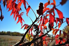 Sumac Bush in the Sun`s Rays stock images