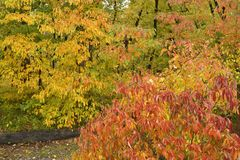 Vivid display of autumn colors in forest. Stock Image