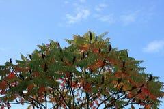 sumac de mâle-klaxon   Photo libre de droits