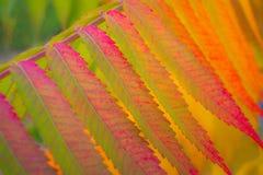 Sumac dello staghorn delle foglie di autunno Fotografie Stock