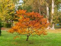 Sumac dello staghorn di Cutleaf in autunno Immagine Stock Libera da Diritti