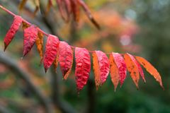 Autumn leaves of Rhus Glabra `Smooth Sumach`. Sumac in the family Anacardiaceae showing autumnal red colour, as October advances in England Royalty Free Stock Photo