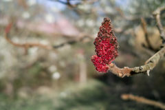 Sumac fruits. Stock Photo