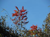 Sumac and Ivy Stock Photos