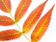 Sumac leaves. Fiery orange sumac leaves isolated on white background royalty free stock images