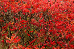 Sumac Plants Changed Red in Autumn Stock Photo