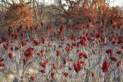 Sumac rouge vibrant prêt pour l'hiver photo libre de droits