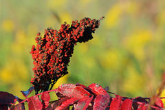 Sumac seeds. Red sumac seed head, Homestead National Monument of America, Beatrice, Nebraska Royalty Free Stock Images