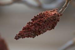 Sumac slår ut på en trädfilial Arkivfoto