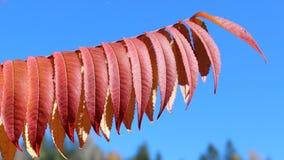 Sumac staghorn typhina Rhus стоковые изображения