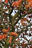 Sumac träd Royaltyfria Bilder