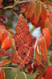 Sumac tree Royalty Free Stock Photography