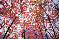 Colourful Sumac in autumn royalty free stock image