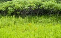 Sumac-Waldung auf einem Gebiet von wild wachsenden Pflanzen Stockfotografie