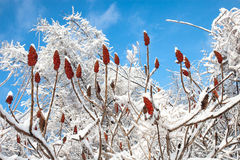 Sumac winter celebration. Staghorn sumac in winter after an ice storm and snowfall Royalty Free Stock Photos