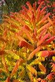 Sumak liść obracająca czerwień w jesień sezonie fotografia royalty free