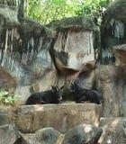 2 Sumantran Serow сидя на скале Стоковое Изображение RF