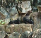 2 Sumantran Serow сидя на скале Стоковая Фотография RF