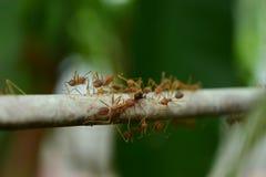 Sumatera Weaver Ants Imágenes de archivo libres de regalías