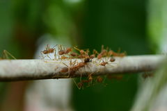 Sumatera Weaver Ants royalty free stock images